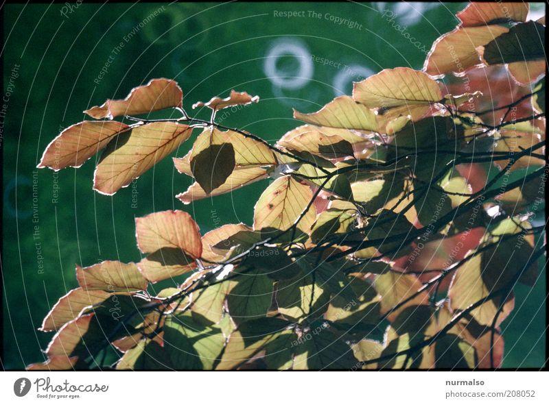 Buchenblätter Natur Baum Pflanze Blatt Stimmung glänzend Umwelt Ast fantastisch natürlich leuchten Schönes Wetter Umweltschutz nachhaltig Herbstlaub