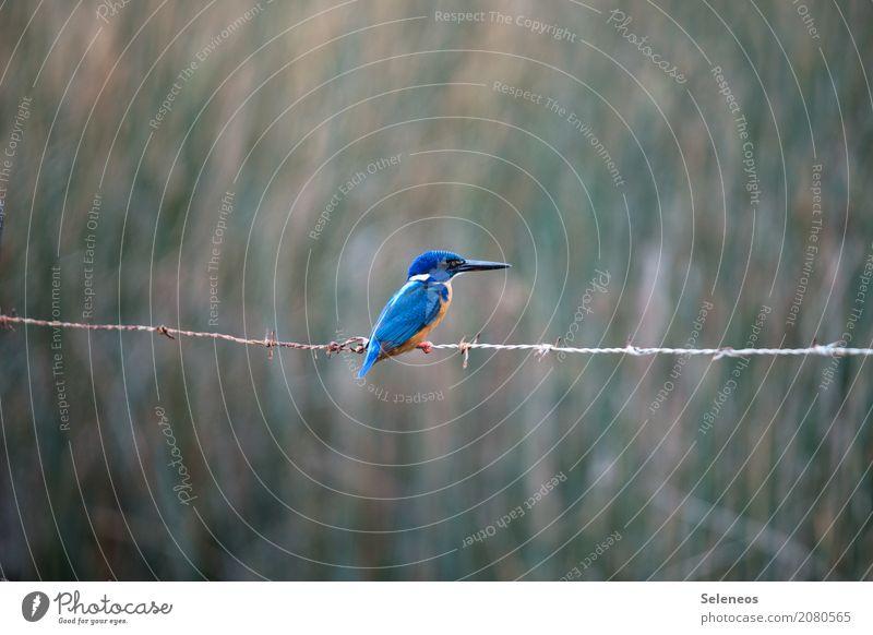 Profi(l) Ausflug Abenteuer Ferne Freiheit Umwelt Natur Küste Seeufer Flussufer Tier Wildtier Vogel Tiergesicht Eisvögel Schnabel 1 beobachten natürlich