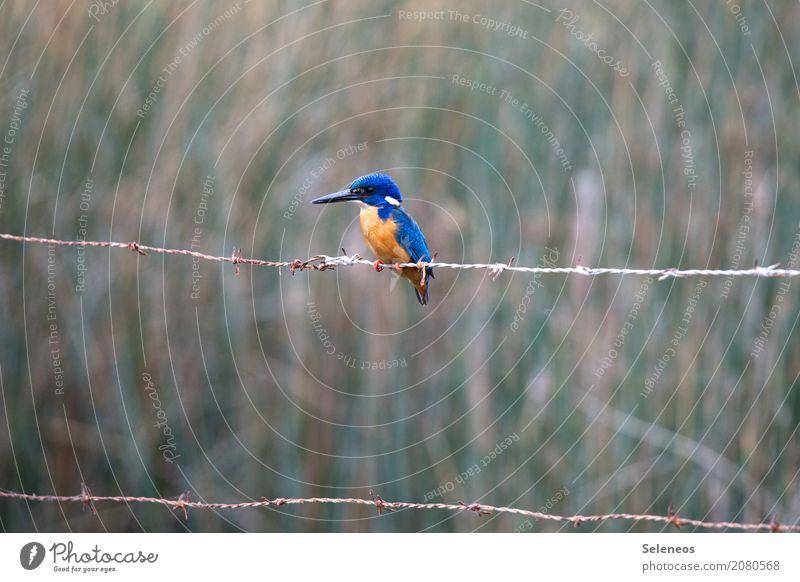 abwarten Ausflug Abenteuer Ferne Freiheit Umwelt Natur Küste Seeufer Flussufer Tier Wildtier Vogel Tiergesicht Flügel Eisvögel 1 beobachten klein nah natürlich