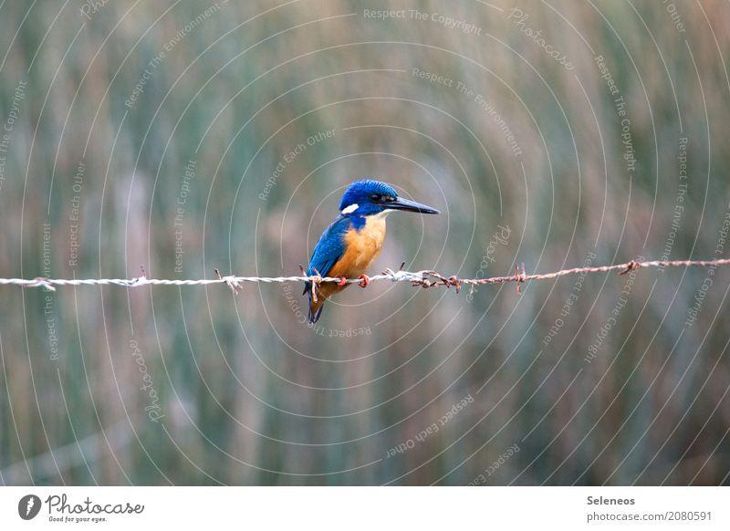 blaues gold Natur Tier natürlich Küste Freiheit Vogel Ausflug Wildtier Seeufer nah Flussufer exotisch Tiergesicht Safari Eisvögel