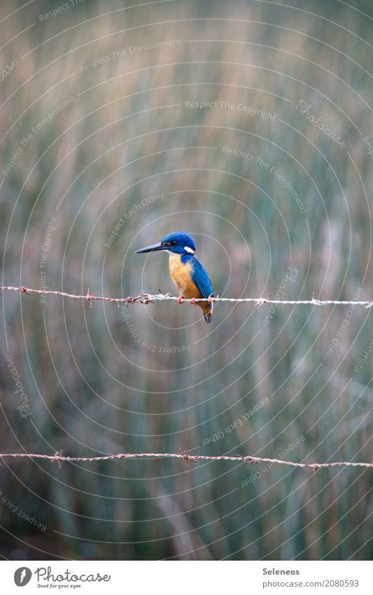 Wartezeit Ferien & Urlaub & Reisen Tourismus Ausflug Ferne Freiheit Umwelt Natur Küste Seeufer Flussufer Tier Wildtier Vogel Tiergesicht Flügel Eisvögel 1