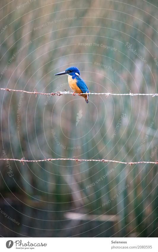 kleine Schönheit Natur Tier Ferne Umwelt natürlich Küste Freiheit Vogel Wildtier Seeufer Tiergesicht Ornithologie Eisvögel