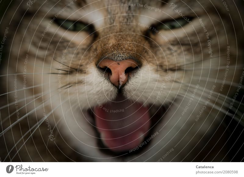 Feierlaune | Jaaa Paaarty! Haustier Katze Tiergesicht Katzenschnautze Zunge Gebiss 1 frech schön braun grün orange rosa schwarz Stimmung gähnen Erholung