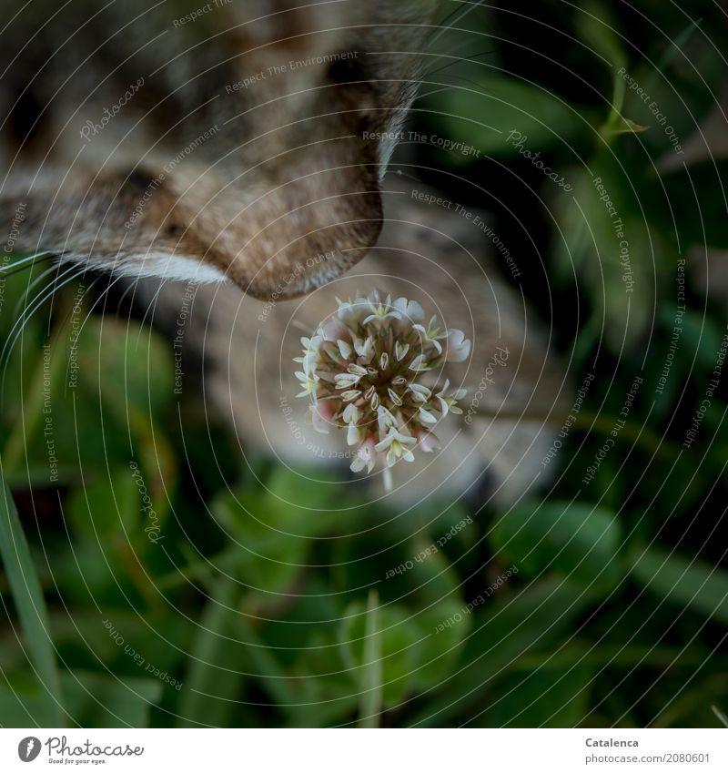 Ein wenig schnuppern Katze Natur Pflanze Sommer grün weiß Erholung Blatt Tier Freude Umwelt Blüte Wiese Gras Garten braun