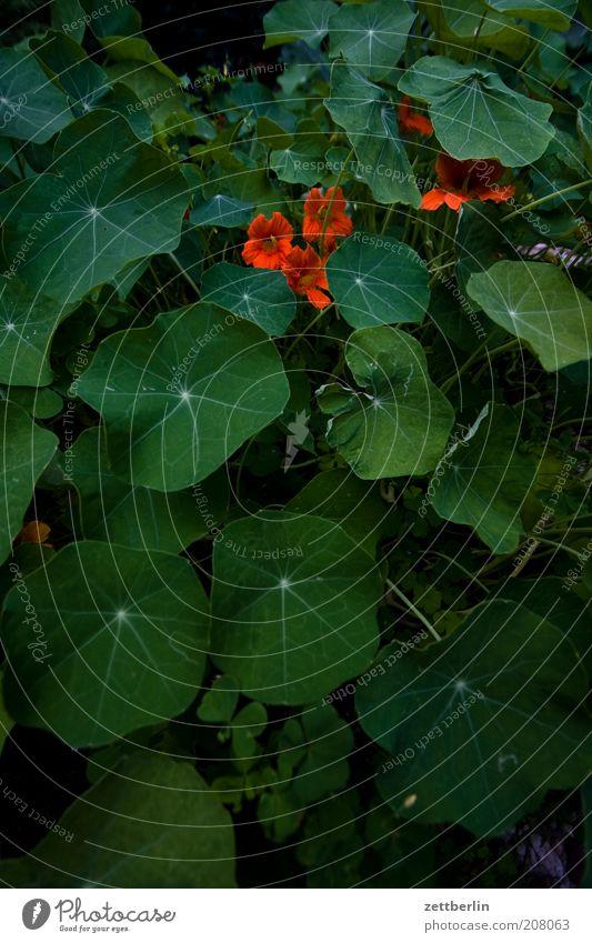 Garten Natur Blume grün Pflanze rot Sommer Blatt Blüte Stimmung Umwelt Blühend Kräuter & Gewürze Grünpflanze Nutzpflanze Kresse Blattgrün