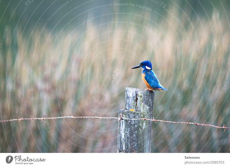 *schmacht* Ausflug Abenteuer Ferne Freiheit Umwelt Natur Küste Seeufer Flussufer Tier Wildtier Vogel Tiergesicht Flügel Eisvögel Schnabel 1 exotisch natürlich