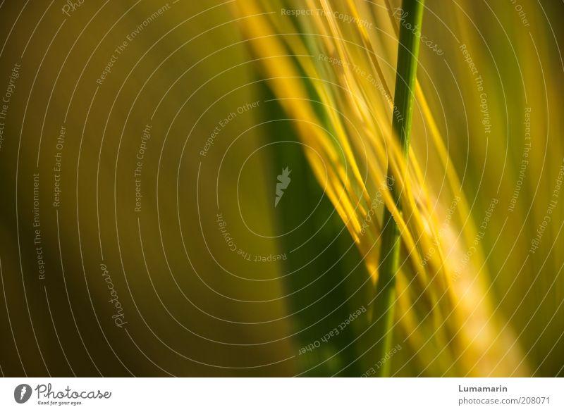 Verflechtungen Natur schön grün Pflanze Sommer gelb Gras Umwelt ästhetisch nah dünn lang natürlich Getreide Halm Grünpflanze