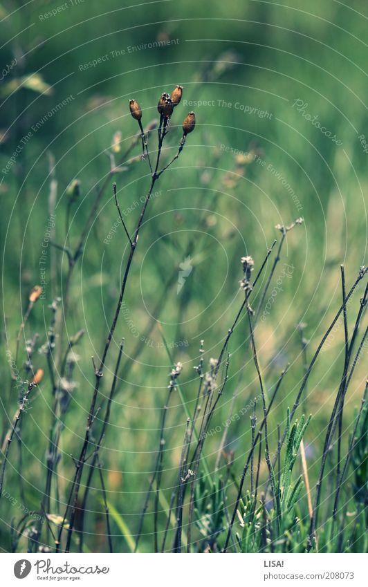 plateaugewächs Umwelt Natur Landschaft Pflanze Frühling Sommer Schönes Wetter Wärme Gras Sträucher Wildpflanze ästhetisch braun grün Dürre trocken Farbfoto