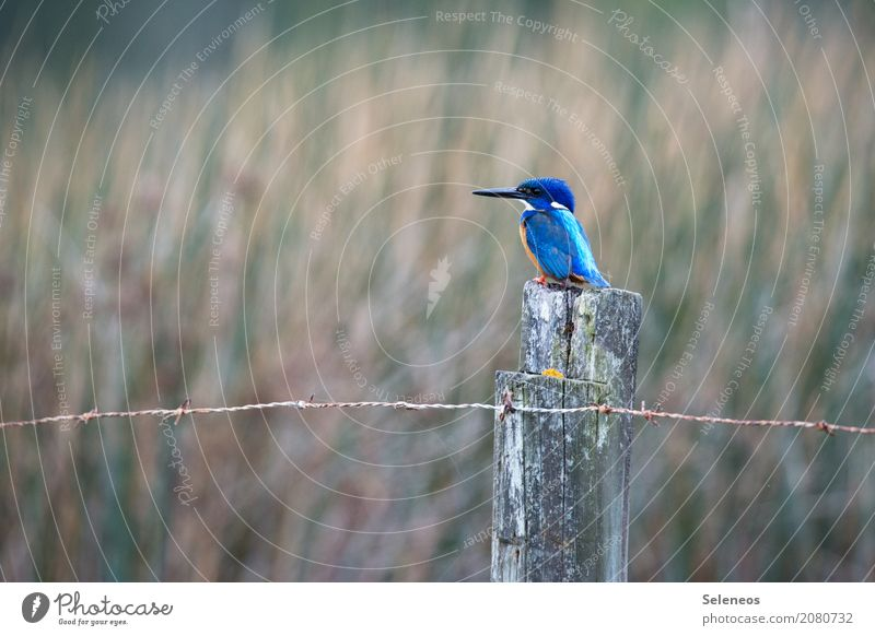 kleiner Fischer Freiheit Umwelt Natur Küste Seeufer Flussufer Tier Wildtier Vogel Tiergesicht Eisvögel Schnabel 1 beobachten nah natürlich Zaunpfahl