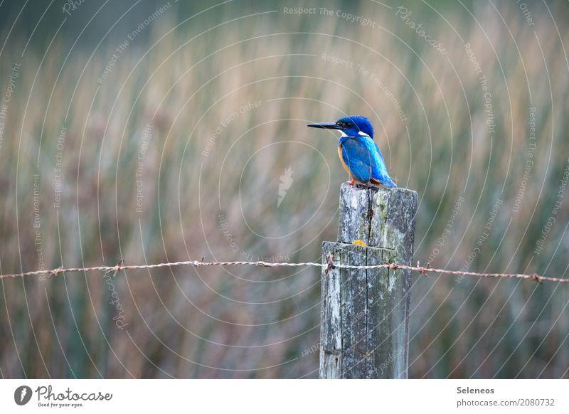 kleiner Fischer Natur Tier Umwelt natürlich Küste Freiheit Vogel Wildtier beobachten Seeufer nah Flussufer Tiergesicht Schnabel Ornithologie