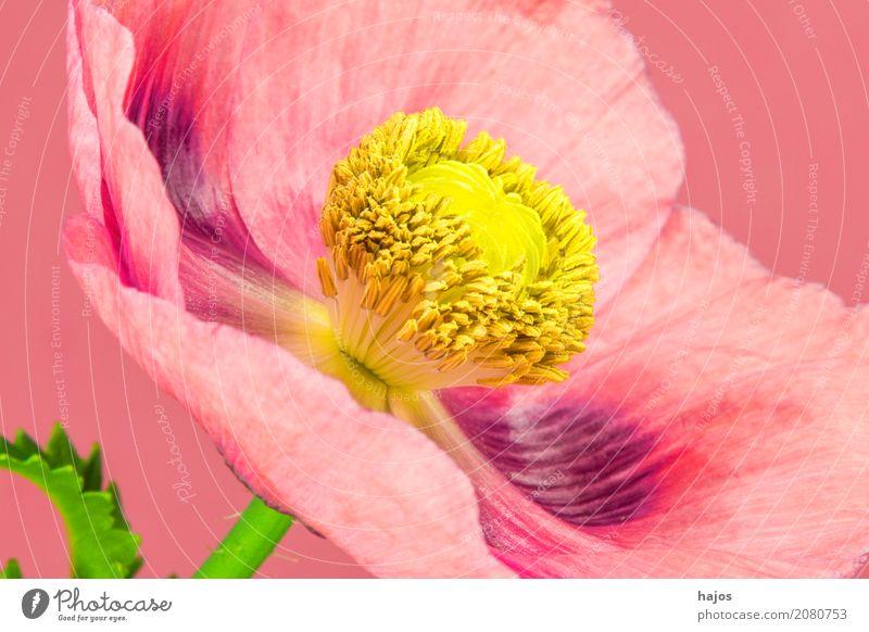 Schlafmohn,Blüte Rauschmittel Medikament Pflanze violett Sucht Mohn Opium Alkaloid Betäubungsmittel Narkotikum Pharmzie Gift Asien Nahaufnahme Makroaufnahme