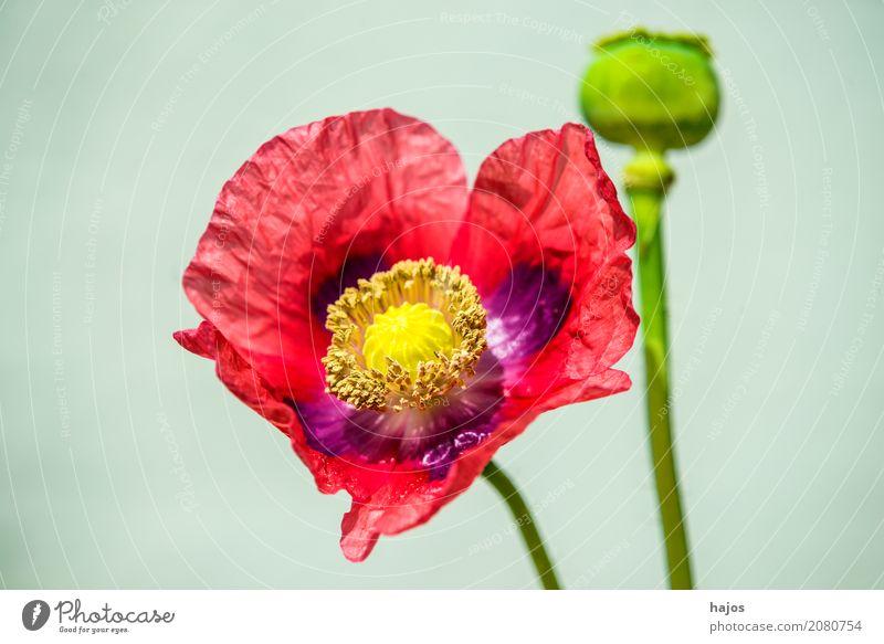 Schlafmohn, Blüte und Kapsel Rauschmittel Medikament Pflanze violett Sucht Mohn Opium Alkaloid Betäubungsmittel Narkotikum Pharmzie Gift Asien Nahaufnahme