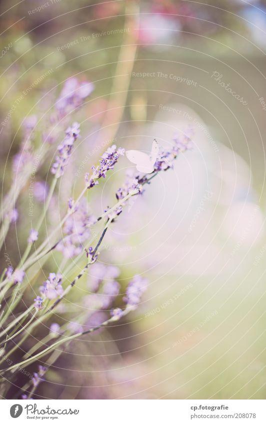 Purple 3 Garten Natur Pflanze Tier Frühling Sommer Schönes Wetter Blume Lavendel Schmetterling Flügel 1 Frühlingsgefühle Außenaufnahme Schwache Tiefenschärfe
