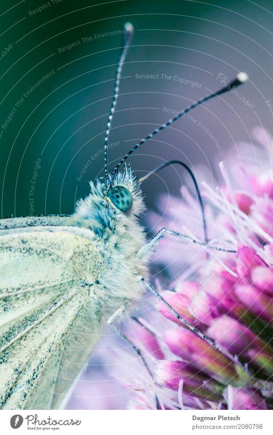 Zitronenfalter Tier Nutztier Wildtier Schmetterling Käfer Tiergesicht 1 Arbeit & Erwerbstätigkeit Blühend Essen krabbeln trinken authentisch Duft schön klein