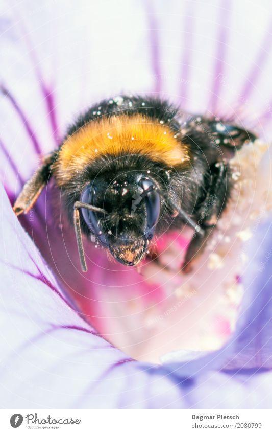 Biene bei der Arbeit Tier Nutztier Wildtier Fliege Schmetterling Käfer Tiergesicht Flügel 1 Blumenstrauß Fährte Linie rennen gebrauchen berühren Bewegung