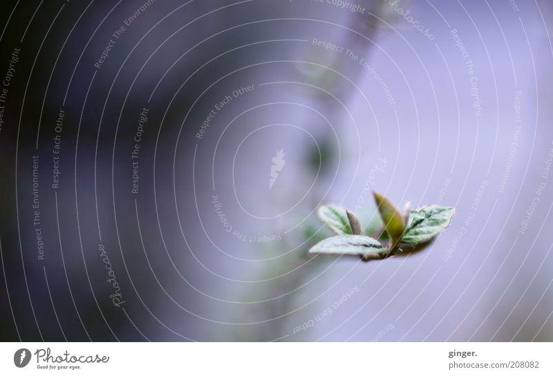 Allein Natur grün Pflanze Blatt ruhig Umwelt Frühling Stimmung Wachstum Spitze einzigartig Blütenknospen Blattknospe Zweige u. Äste Frühlingsgefühle Textfreiraum links