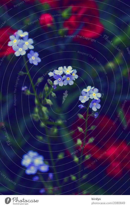 Blümchenfein Garten Pflanze Blume Blüte Blühend Duft ästhetisch positiv blau grün rot Farbe Natur Wachstum Farbfoto Außenaufnahme Menschenleer Textfreiraum oben