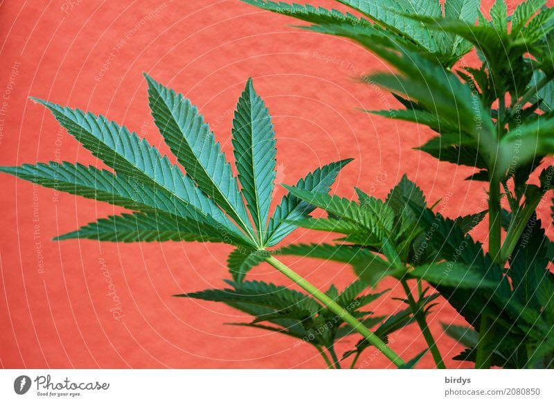 Cannabis - Kultur-u. Heilpflanze Lifestyle Alternativmedizin Rauschmittel Medikament Gesundheitswesen Pflanze Hanf Nutzpflanze Cannabisblatt Wachstum ästhetisch