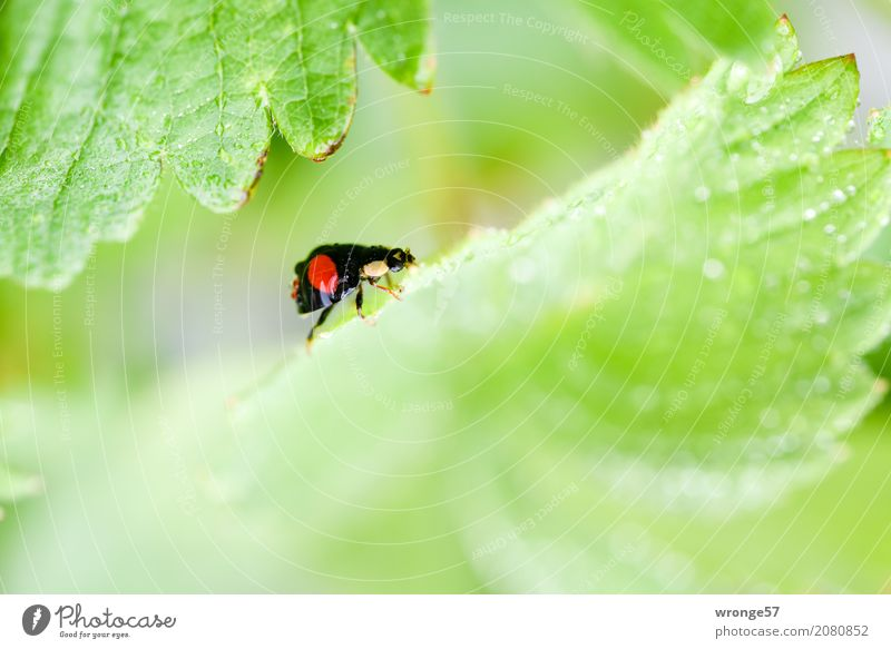 Regenkäfer I Pflanze Tier Blatt Nutzpflanze Erdbeeren Nutztier Wildtier Käfer Marienkäfer 1 klein grün rot schwarz Insekt schwarz-rot winzig krabbeln