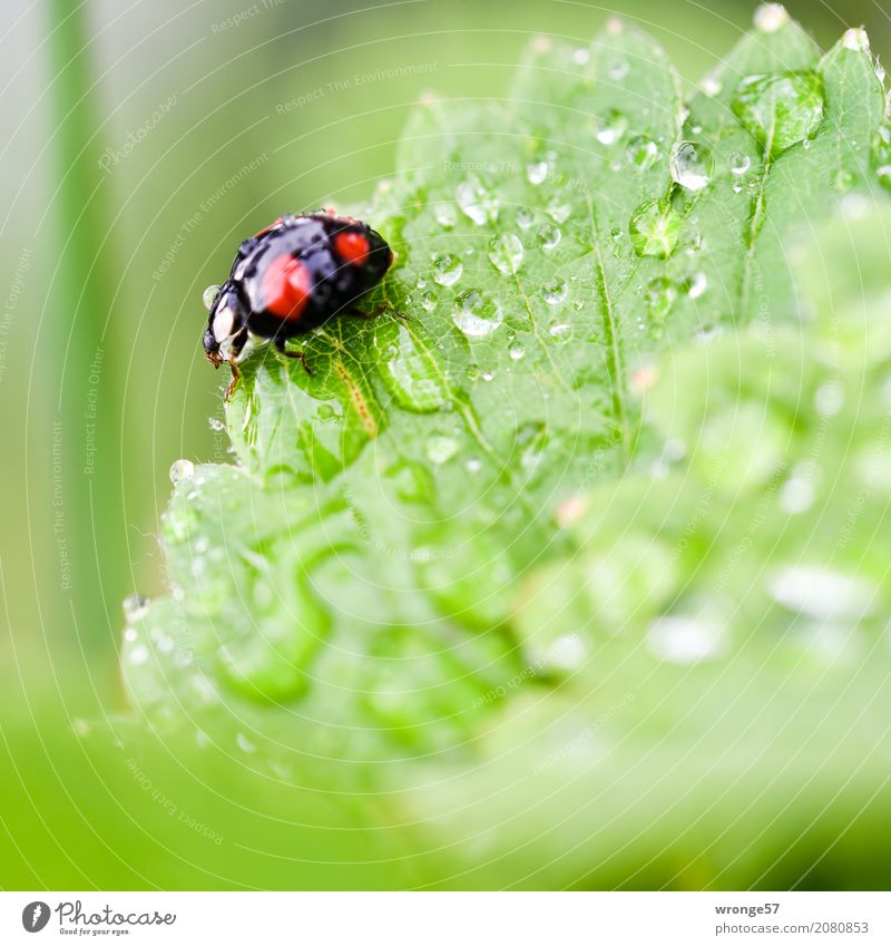 Regenkäfer II Pflanze Sommer grün rot Blatt Tier schwarz klein Garten Wildtier Wassertropfen Insekt Quadrat Käfer krabbeln
