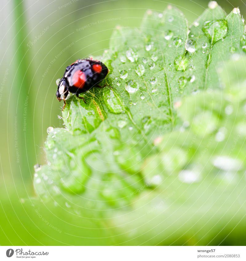 Regenkäfer II Pflanze Tier Sommer Garten Nutztier Wildtier Käfer Marienkäfer 1 krabbeln klein grün rot schwarz Insekt winzig schwarz-rot gepunktet Wassertropfen