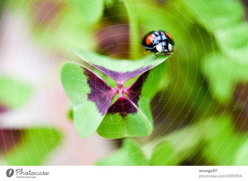 Sehr viel Glück Pflanze Tier Sommer Blatt Kleeblatt Garten Nutztier Wildtier Käfer Marienkäfer 1 Glücksbringer krabbeln klein mehrfarbig grün rot schwarz Insekt
