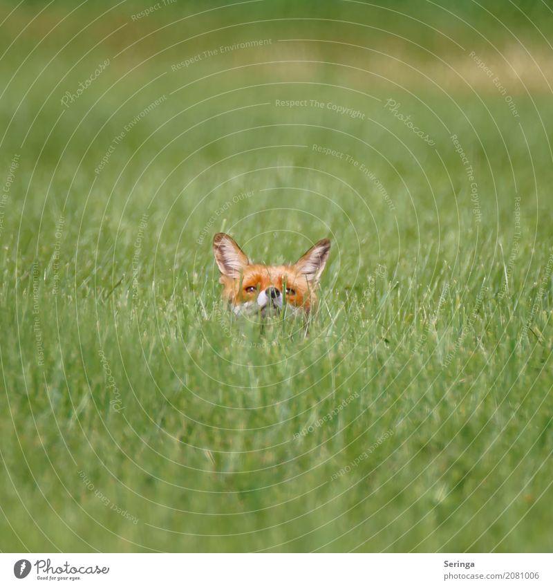 Wer hält denn da die Nase in den Wind Tier Feld Wildtier Tiergesicht Fell 1 Jagd Fuchs Rotfuchs Farbfoto Gedeckte Farben mehrfarbig Außenaufnahme Menschenleer