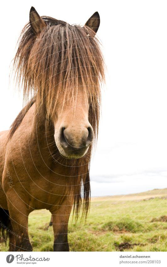 Islandhippie Ferien & Urlaub & Reisen Natur Landschaft Tier Nutztier Pferd Tiergesicht 1 Coolness elegant Freiheit Island Ponys Tierporträt Blick in die Kamera