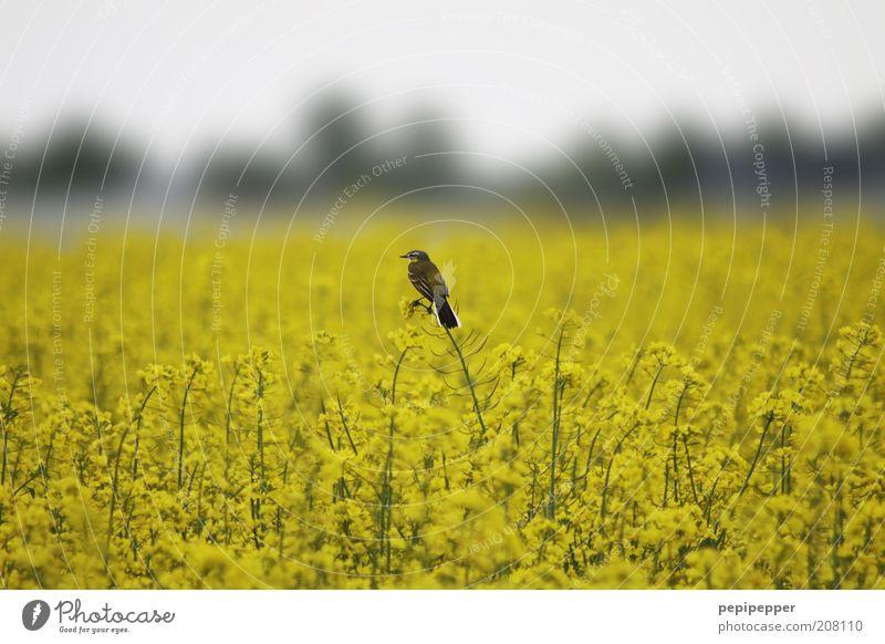 vogelwacht Natur Pflanze Sommer Tier gelb Blüte Landschaft Vogel Feld sitzen beobachten natürlich Wildtier Raps Rapsfeld Nutzpflanze
