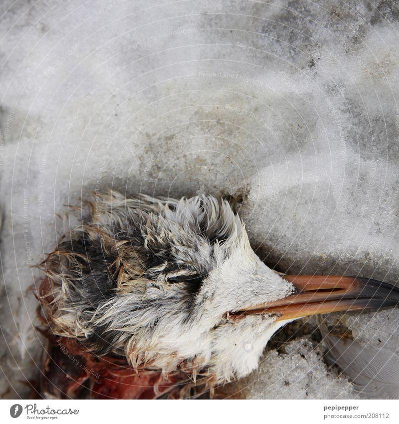 eisiger tod Winter Klima Klimawandel Wetter schlechtes Wetter Eis Frost Schnee Tier Totes Tier Vogel 1 grau rot erfrieren Farbfoto Außenaufnahme Detailaufnahme