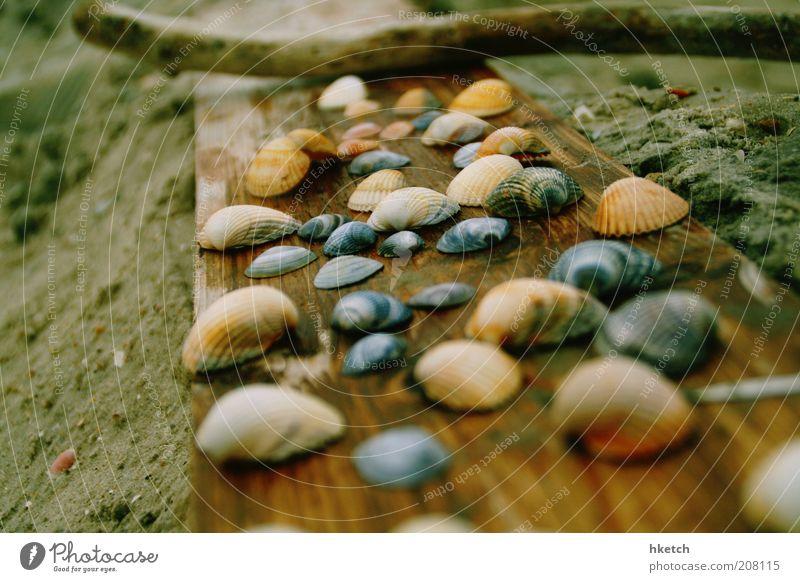 Muschelkuschelgruppe Sand Strand Holzbrett Stock Sammlung Farbfoto Außenaufnahme Nahaufnahme Textfreiraum links Tag Unschärfe Schwache Tiefenschärfe