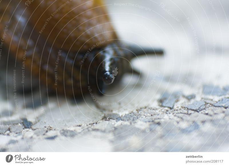 Schnecke Auge Tier braun Langeweile Schnecke Fühler krabbeln Makroaufnahme langsam schleimig Schädlinge Bewegung Weichtier Nacktschnecken Steinboden