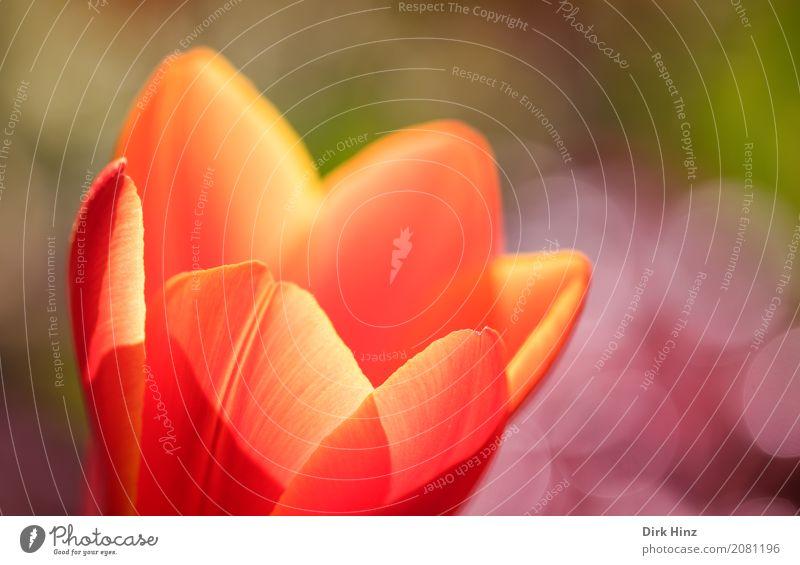 Tulpenblüte Umwelt Natur Pflanze Blume frisch natürlich schön Blüte orange-rot leuchten knallig Garten Park Sommer sommerlich Leben Blütenkelch Farbfoto