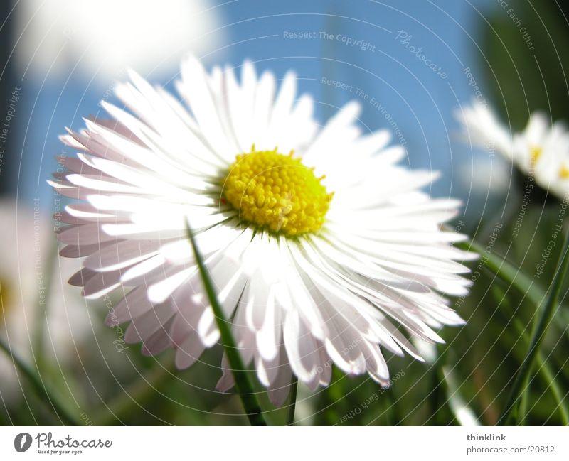 sie liebt mich, sie liebt mich nicht... Blume Wiese Gras Gänseblümchen Nahaufnahme Gänseblümschen