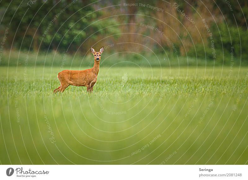 In Pose Natur Pflanze Landschaft Tier Wald Umwelt Wiese Gras Feld Wildtier beobachten Fell Tiergesicht Reh Ricke