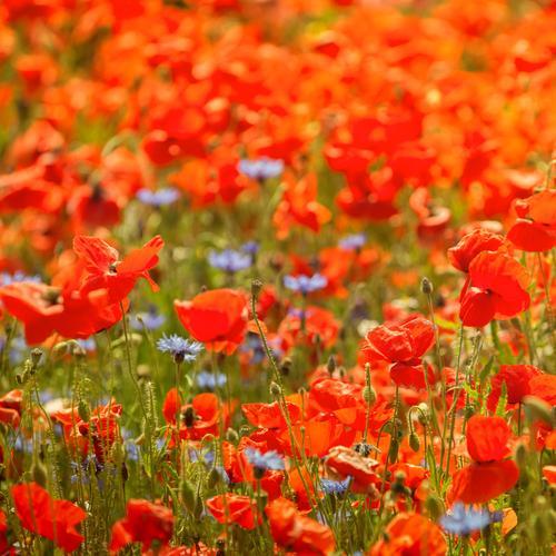 Mohnfeld Ferien & Urlaub & Reisen Tourismus Sommer Sommerurlaub Sonne Umwelt Natur Pflanze Wiese Feld grün rot Mohnblüte Landwirtschaft knallig leuchten