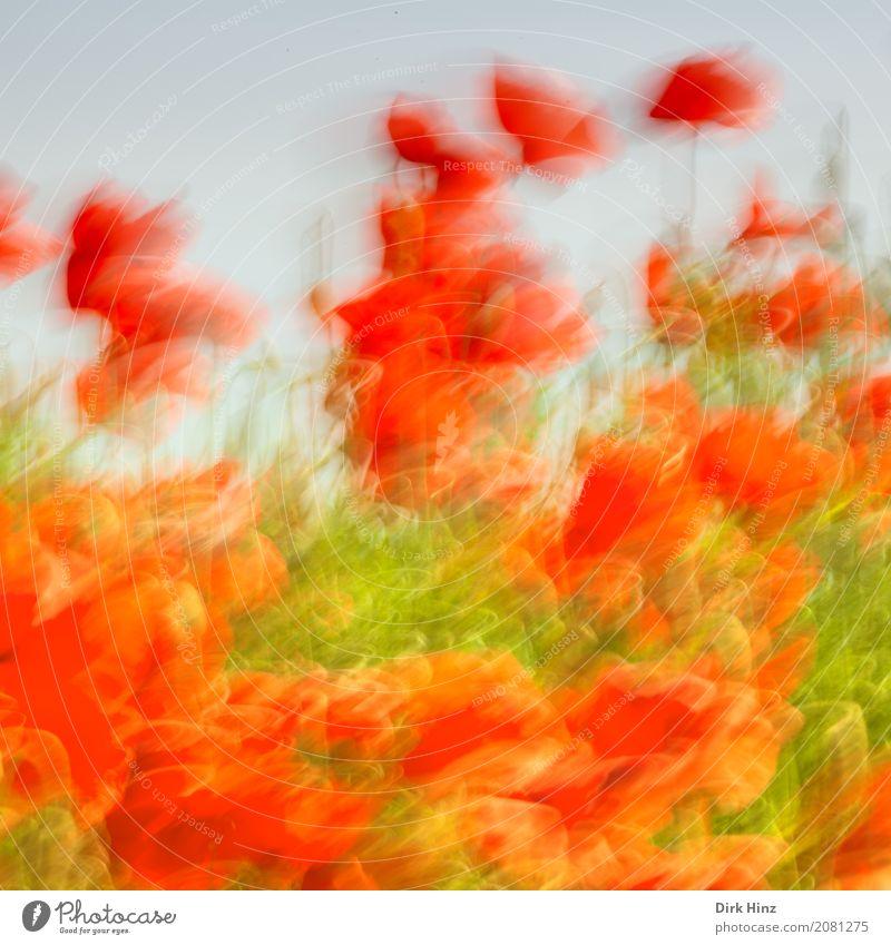 Mohn in Aktion Umwelt Natur Pflanze Blume Blüte Nutzpflanze Wildpflanze Wiese Feld Bewegung grün rot Stimmung Kunst Lebensfreude Tourismus Umweltschutz