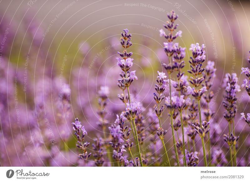 Lavendulus Natur Pflanze Sommer Farbe schön grün Blume Erholung ruhig Blüte Gesundheit Stil Garten Zufriedenheit elegant Sträucher