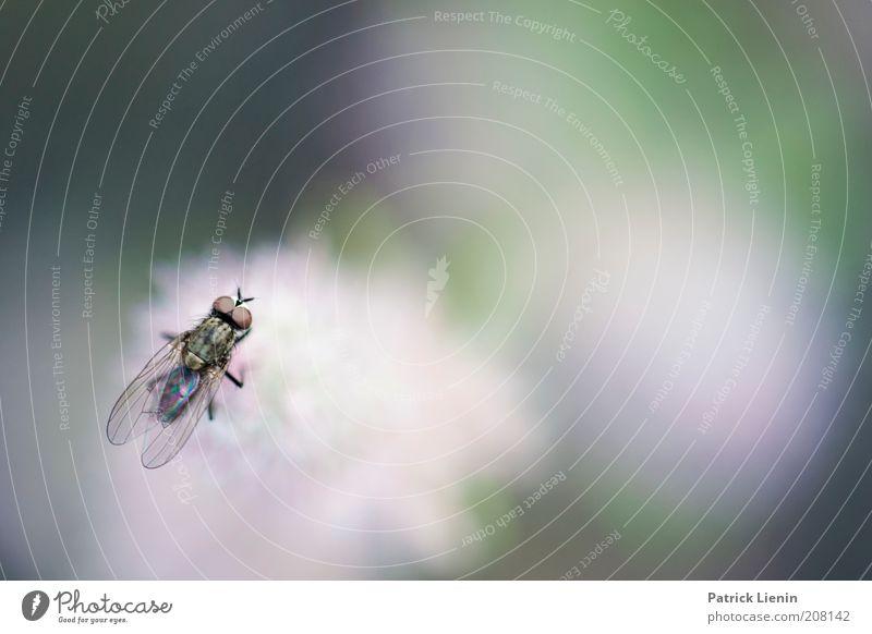 Mach die Fliege! Tier Flügel 1 sitzen Blüte Natur Blick oben Insekt schön bezaubernd Romantik ruhig lästig nerven losgelöst zart zartes Grün hell Blumenfliege