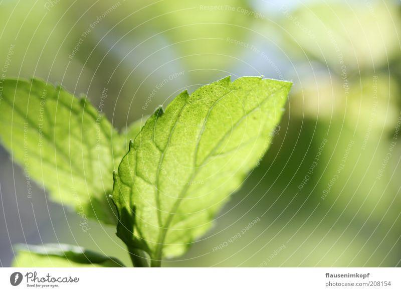 Erfrischende Minze Kräuter & Gewürze Pflanze Blatt Grünpflanze Nutzpflanze Wachstum Gesundheit lecker natürlich grün rein Umwelt Küchenkräuter Farbfoto