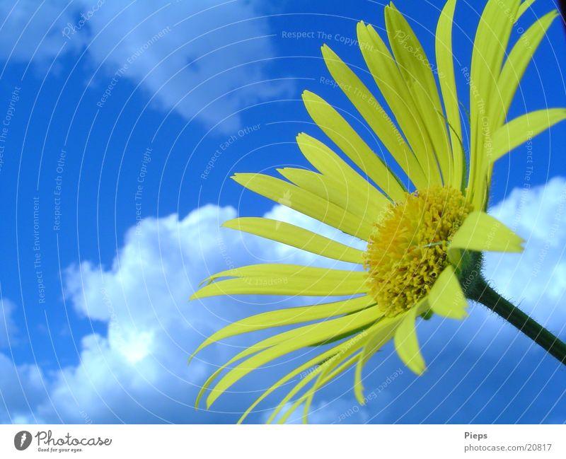 Im Wonnemonat... Farbfoto Außenaufnahme Tag Pflanze Himmel Wolken Frühling Schönes Wetter Blume Blüte Garten blau gelb Frühlingsgefühle Vergänglichkeit Gemswurz
