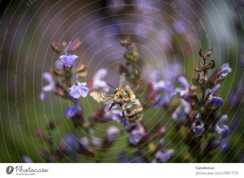 Very busy Natur Pflanze Sommer grün Tier Blüte Garten braun fliegen ästhetisch Erfolg Blühend violett Insekt Duft verblüht