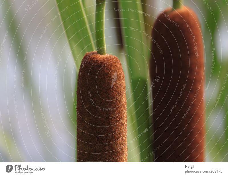 Lampenputzer... Natur schön grün Pflanze Sommer Blüte braun Umwelt ästhetisch Wachstum stehen einfach lang natürlich Blühend Schilfrohr