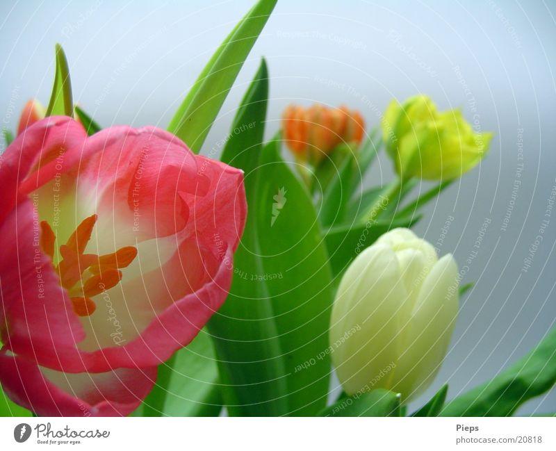 Wiederholt Blumig Farbfoto Innenaufnahme Tag Garten Pflanze Frühling Blume Tulpe Blüte Blumenstrauß springen April zart flowers mehrfarbig