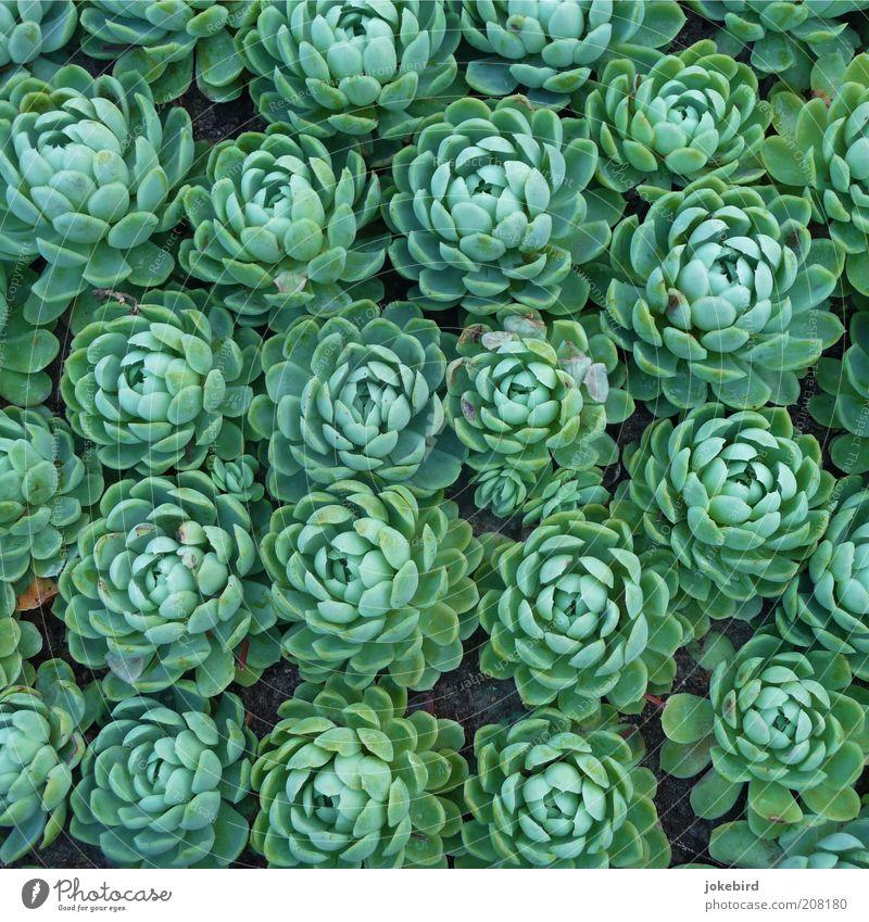 Kopfsalat grün Pflanze Zusammensein Erde Ordnung Wachstum mehrere nah eng viele Beet Vogelperspektive Perspektive Licht Zeit Aktion