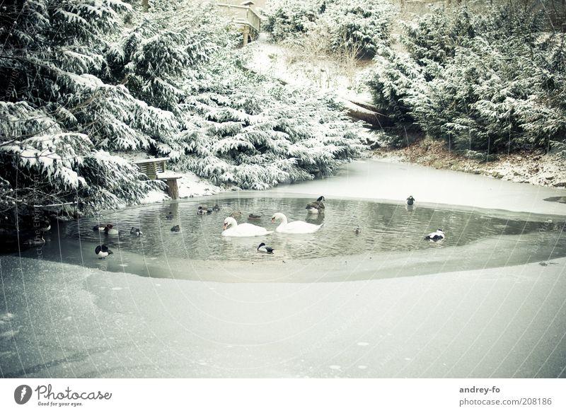 Vögel im Winterteich. Umwelt Natur Landschaft Wasser Schönes Wetter schlechtes Wetter Schnee Park Wald Teich Tier Wildtier Vogel Schwan Tiergruppe Bewegung