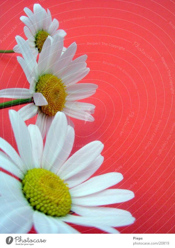 Abgepflückt Farbfoto Innenaufnahme Pflanze Frühling Blume Blüte Garten rot weiß Frühlingsgefühle Margerite Wiesenblume 3 Tag