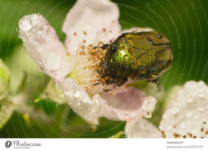 pitschnass Natur Tier Wasser Wassertropfen Frühling schlechtes Wetter Regen Pflanze Blume Rose Blatt Wildtier Käfer Rosenkäfer 1 Blühend Fressen hocken krabbeln