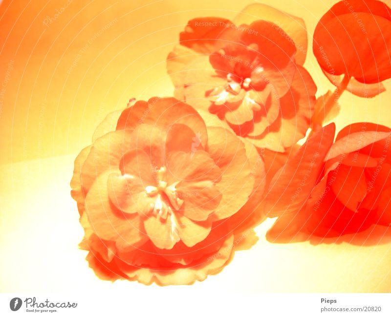 Begonie (1) Farbfoto Innenaufnahme Nahaufnahme Pflanze Blume Blüte Topfpflanze rot Begonien