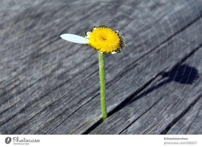 Sie liebt mich! schön Blume grün Pflanze gelb Gefühle Blüte Holz Glück grau Wärme Umwelt Hoffnung Fröhlichkeit Wachstum nah